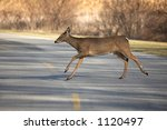 Whitetail Deer Crossing Road