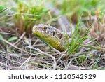 a garden lizard hides in the... | Shutterstock . vector #1120542929