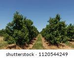 Apple Garden  Rows Of Trees ...