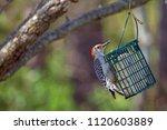 A Red Bellied Woodpecker Feeds...