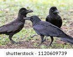 flock of balck raven crow bird... | Shutterstock . vector #1120609739