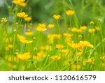 buttercup yellow flowers in... | Shutterstock . vector #1120616579