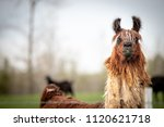 brown and white llama standing... | Shutterstock . vector #1120621718
