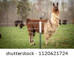 brown and white llama standing... | Shutterstock . vector #1120621724