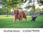 Stock photo british short hair cats and dogs play in the meadow 1120679090