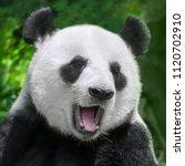 giant panda close up portrait | Shutterstock . vector #1120702910