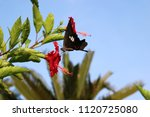 Papilio Helenus Stopping On A...