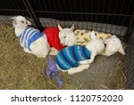 baby goats lying in a pen ... | Shutterstock . vector #1120752020
