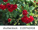Stock photo bush of red roses 1120762418