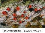 several sea anemones underwater ... | Shutterstock . vector #1120779194