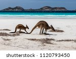 kangaroos on the beach with...   Shutterstock . vector #1120793450