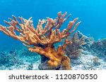 Elkhorn coral (Acropora palmata) is considered to be one of the most important reef-building corals in the Caribbean.
