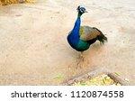 beautiful peacock   chattbir zoo | Shutterstock . vector #1120874558