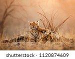tigress and cute cub in amazing ... | Shutterstock . vector #1120874609