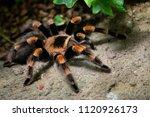 tarantula spider close up....   Shutterstock . vector #1120926173