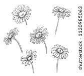 set of chamomile  daisy   black ... | Shutterstock .eps vector #1120985063