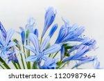 hyacinth flowers  flowering... | Shutterstock . vector #1120987964