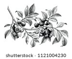 Blueberry Hand Drawing Vintage...