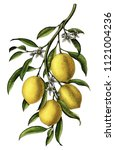 lemon branch illustration... | Shutterstock . vector #1121004236