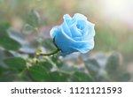 Flower Blue Rose Flowering In...