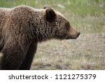 Huge North American Grizzly...