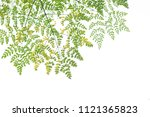 the tree and leaves of moringa  ... | Shutterstock . vector #1121365823