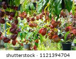 insectivorous plant ...   Shutterstock . vector #1121394704