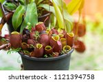 insectivorous plant ...   Shutterstock . vector #1121394758