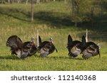 Wild Turkeys In Field