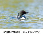 common loon swimming on lac... | Shutterstock . vector #1121432990