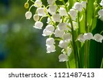 Lilies Of The Valley   A...