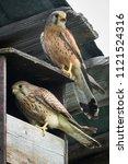 kestrel predator bird   Shutterstock . vector #1121524316