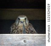 kestrel predator bird   Shutterstock . vector #1121524319