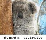 sleeping koala on the...   Shutterstock . vector #1121547128