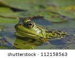 Female Bullfrog  Lithobates...