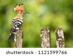 eurasian hoopoe or common... | Shutterstock . vector #1121599766