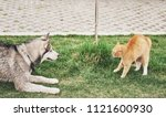 Stock photo cat against a dog an unexpected meeting in the open air 1121600930