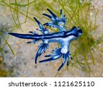 Blue Dragon  Glaucus Atlanticu...