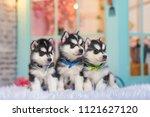Three Puppies Of Husky. Small...