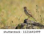 eurasian skylark   alauda...   Shutterstock . vector #1121641499