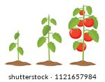 vector illustration of tomatoes | Shutterstock .eps vector #1121657984