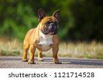 french bulldog outdoor | Shutterstock . vector #1121714528