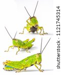Small photo of Bright Green Cricket Grasshopper Caelifera Orthoptera Insecta on a white isolated background