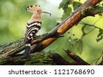 eurasian hoopoe or common... | Shutterstock . vector #1121768690