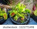 venus flytrap close up....   Shutterstock . vector #1121771498