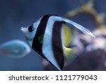 heniochus acuminatus  coral fish   Shutterstock . vector #1121779043