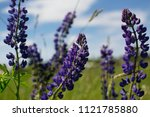 lupinus perennis in sunset... | Shutterstock . vector #1121785880