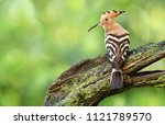 eurasian hoopoe or common... | Shutterstock . vector #1121789570