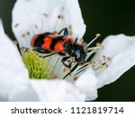 Small photo of Colorful checkered beetle (Trichodes apiarius, Cleridae) sitting in a flower