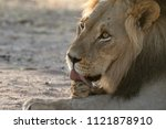 Male Lion Licking Its Paws